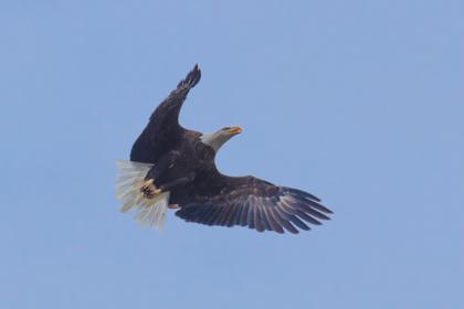 Muskegon River Eagle