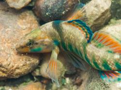 Rainbow Darter Image